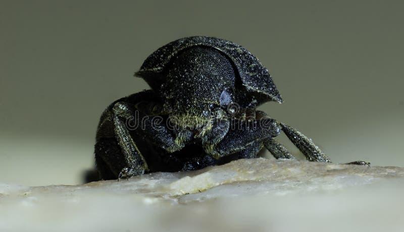 Rocky Mountain Pine Beetle royaltyfria bilder