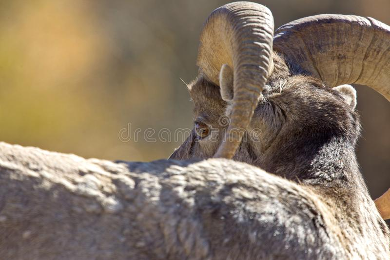 Rocky Mountain Ram Sheep royalty-vrije stock afbeelding