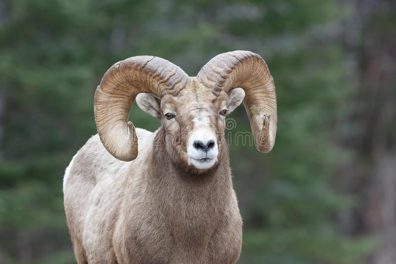Rocky Mountain Sheep Ram royalty-vrije stock afbeeldingen