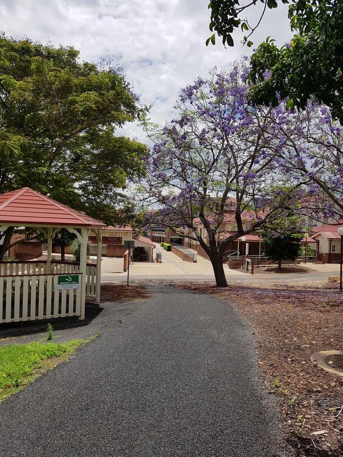 Rocky pathway leading to buildings and beautiful purple Jacaranda tree royalty free stock image