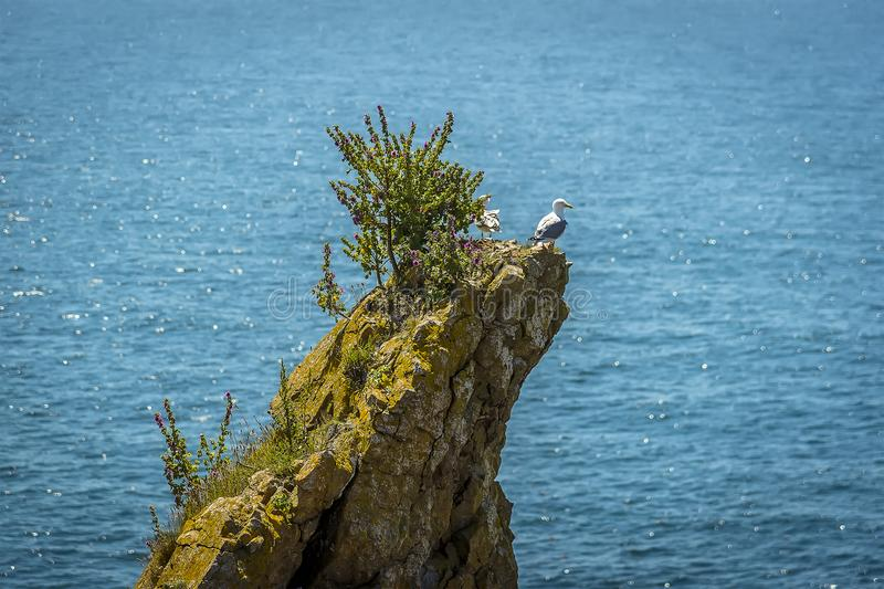 A pair of predatory gulls on a rock stack offshore populated by breeding Raverbill Gulls on the Pembrokeshire coast, Wales stock image