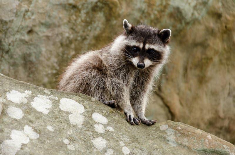 Rocky Raccoon stockfoto