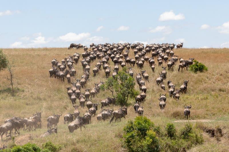 Roczna migracja na Masai Mara, Kenja, Afryka fotografia royalty free