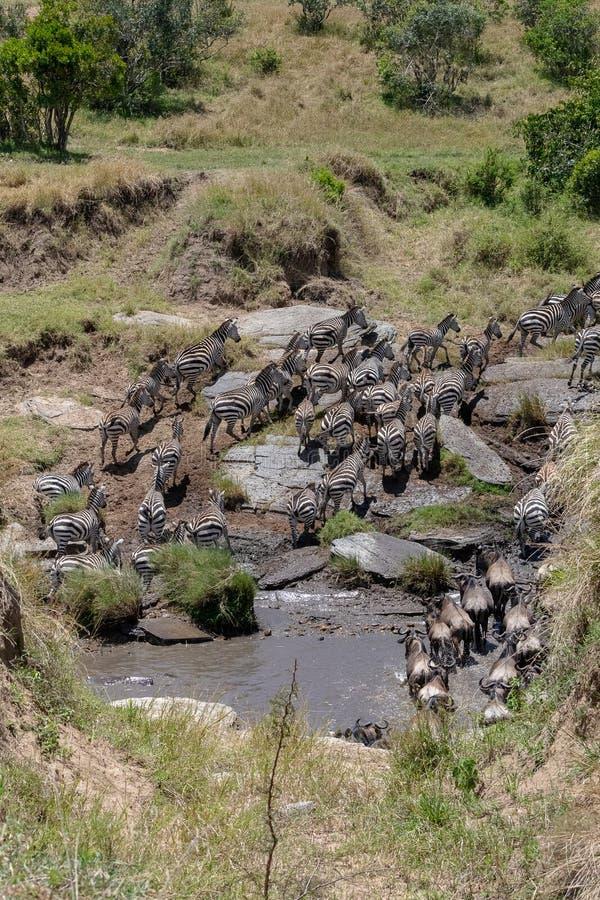 Roczna migracja na Masai Mara, Kenja, Afryka obraz stock