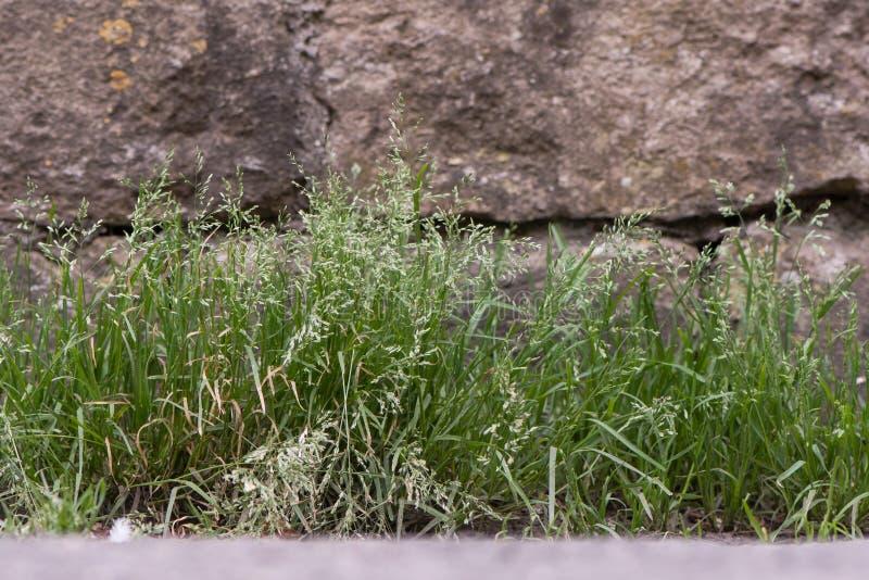 Roczna wiechlina & x28; Poa annua& x29; rośliny w kwiacie obraz stock