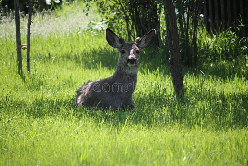 Roczniaków rogacze w ogródzie zdjęcie royalty free