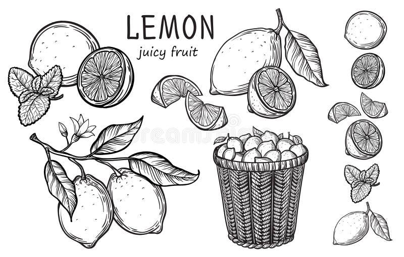 Rocznik cytryny drzewa nakreślenie ilustracji