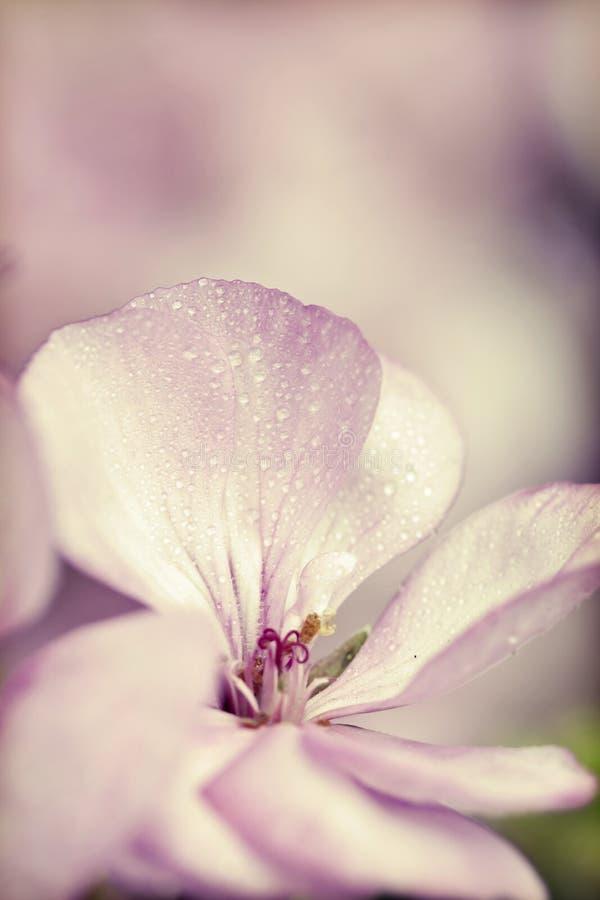 Rocznik fotografia menchie kwitnie z płycizną dof (bodziszek) obraz royalty free
