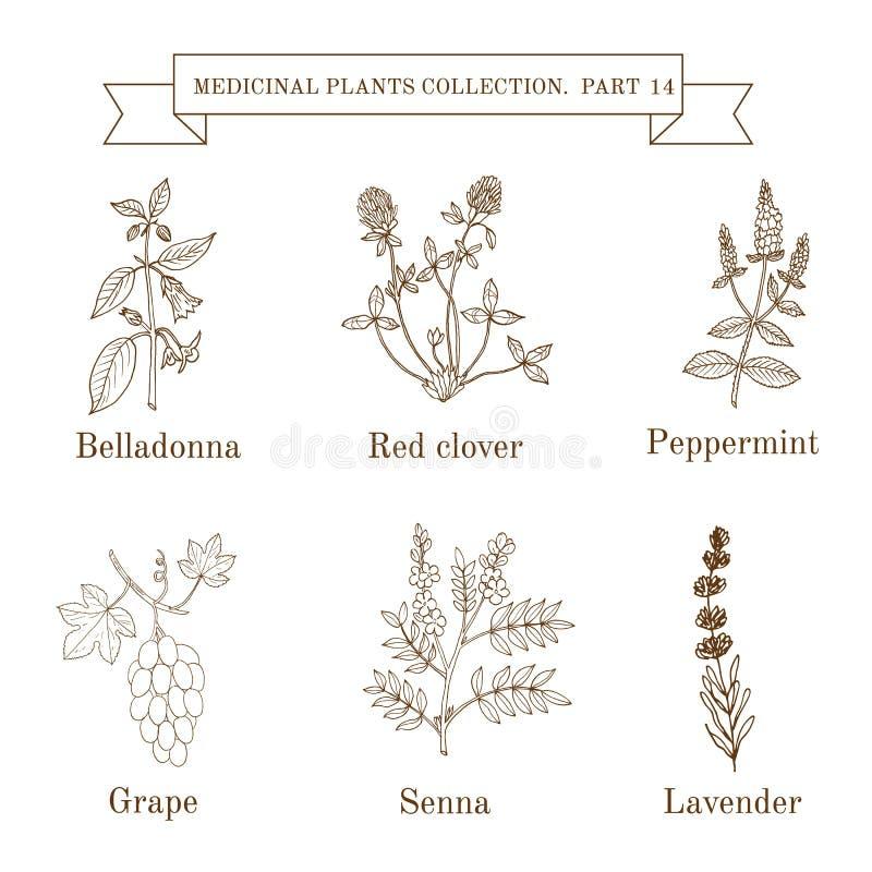 Rocznik kolekcja ręki rysujący ziele, medyczne rośliny i, belladona, czerwona koniczyna, miętówka, winogrono, senes, lawenda royalty ilustracja