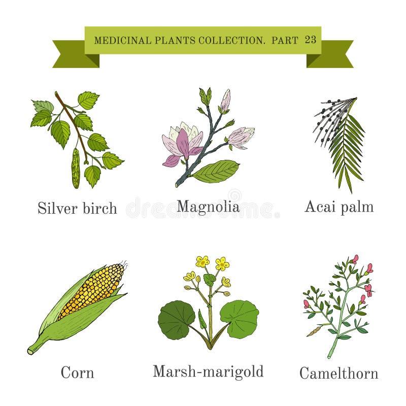 Rocznik kolekcja ręki rysujący ziele, medyczne rośliny i, srebna brzoza, magnolia, acai palma, kukurudza, kaczeńcowa ilustracja wektor