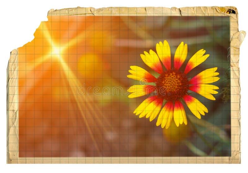 Rocznik pocztówka dla zaproszenia z żółtym kwiatu helenium royalty ilustracja