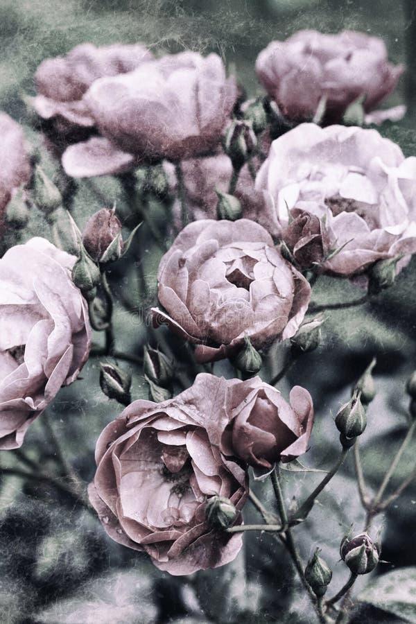Rocznik róże obrazy royalty free