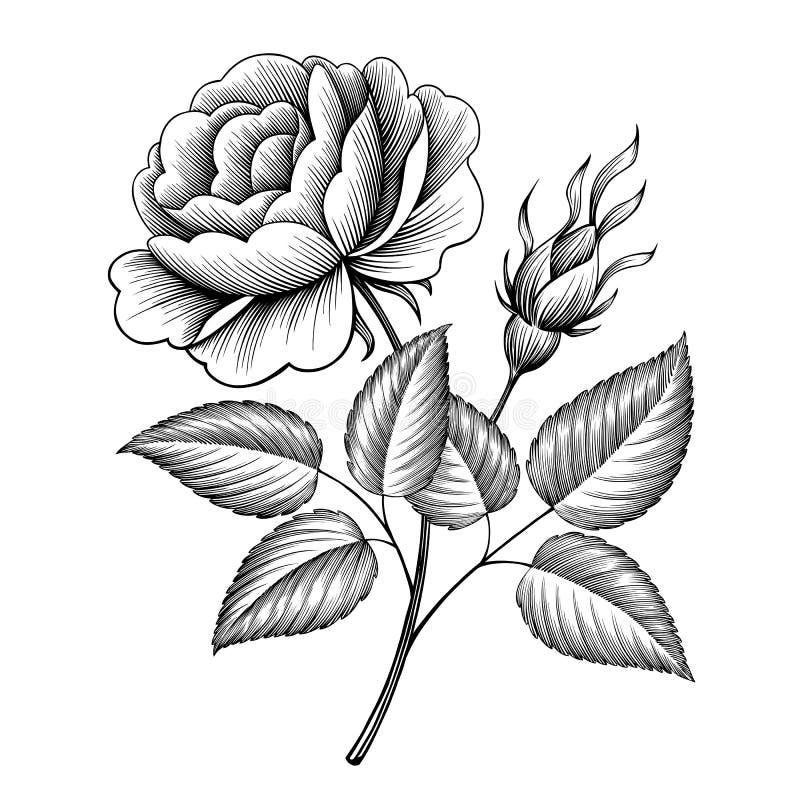 Rocznik róży kwiat graweruje kaligraficznego wektor royalty ilustracja