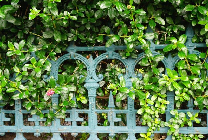 Rocznika żelaza ogrodzenie przerastający z winogradami zdjęcia royalty free