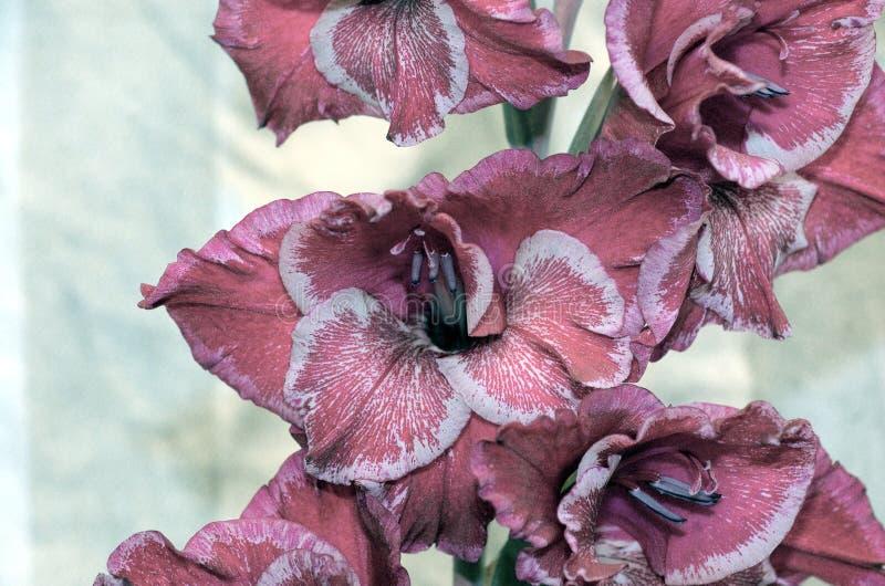Rocznika gladiolusa desaturated kwiat obraz royalty free