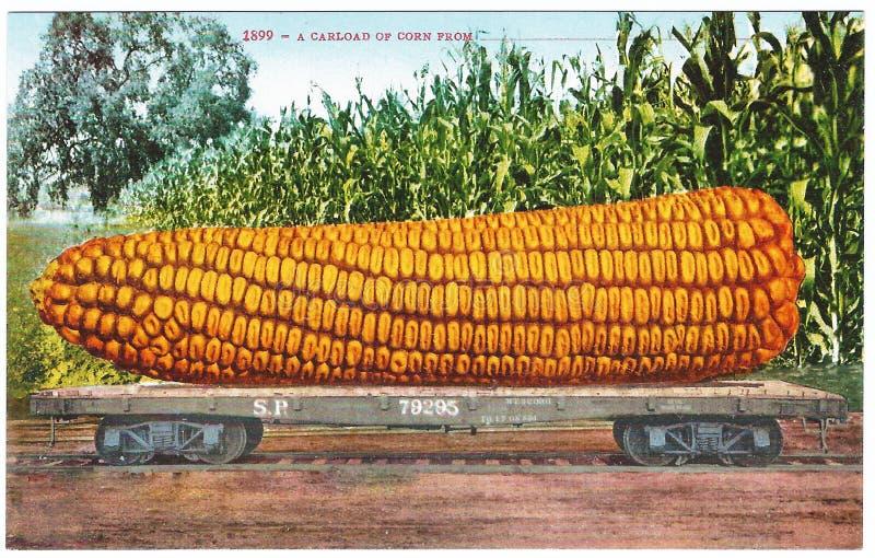 Rocznika koloryzowania Pocztówkowej grafiki Gigantyczna kukurudza 1900s-1910s royalty ilustracja