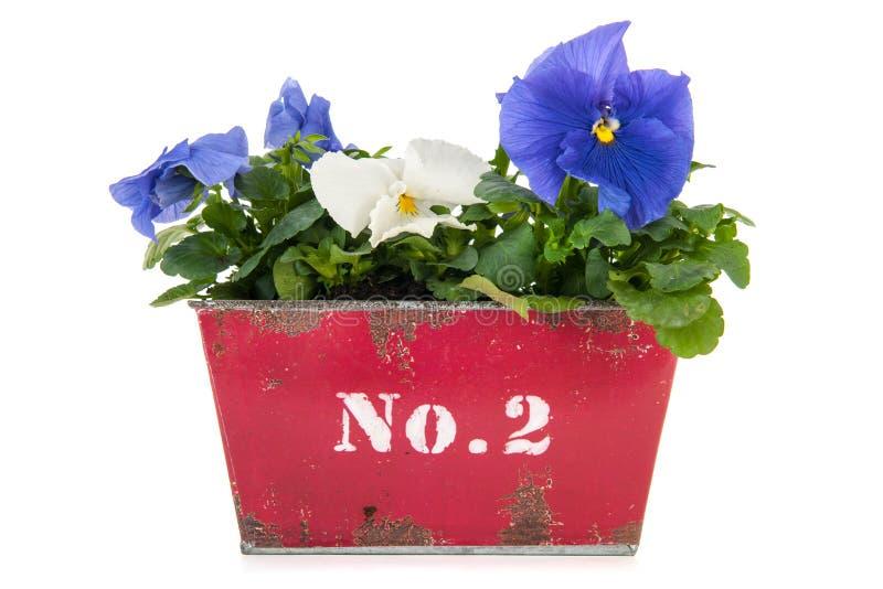 Rocznika kwiatu garnka Pansy rośliny obrazy stock