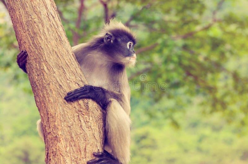 Rocznika liścia Ciemniusieńka małpa lub Trachypithecus obscurus na drzewie zdjęcie royalty free