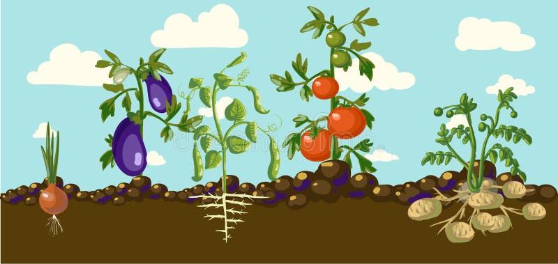 Rocznika ogrodowy sztandar z korzeniowymi veggies ilustracji
