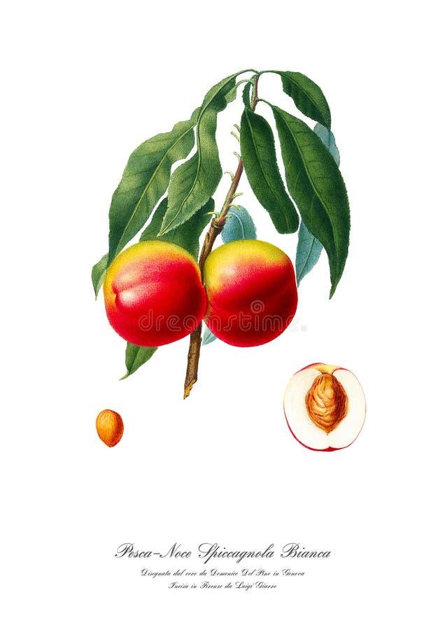 Rocznika watercolour gałąź brzoskwini rysunkowa sztuka obraz royalty free