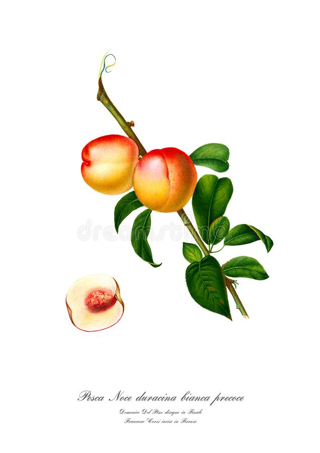 Rocznika watercolour gałąź brzoskwini rysunkowa sztuka obrazy royalty free