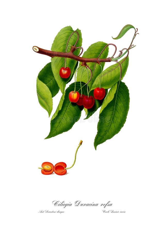 Rocznika watercolour gałąź Czereśniowa rysunkowa sztuka obraz stock