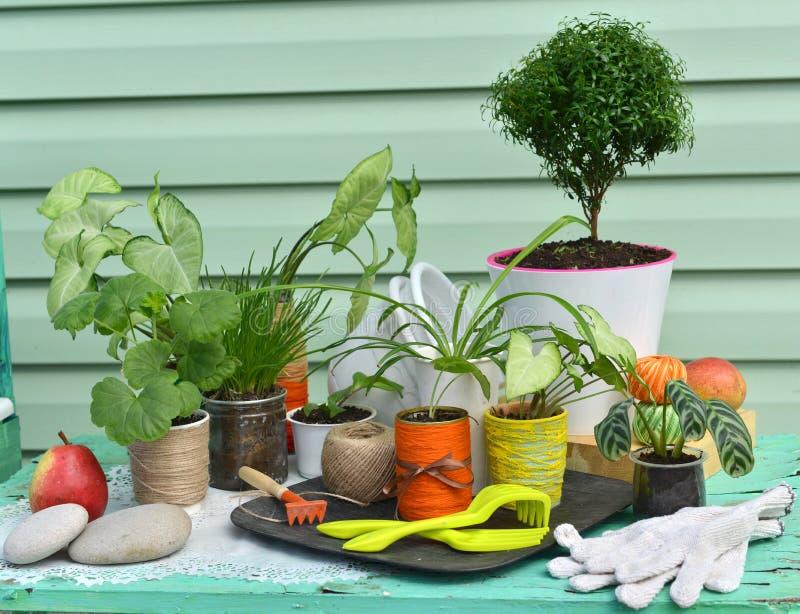 Rocznika wciąż życie z mirtowym drzewem, syngonium i innymi houseplants przeciw zielonemu nowożytnemu tłu, fotografia stock