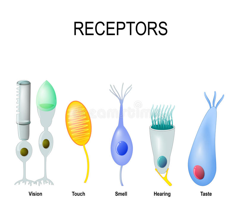 Rod and cone cells, Meissner`s corpuscle, Olfactory receptor, ha. Receptor cells: rod and cone Vision, Meissner`s corpuscle touch, Olfactory receptor smell, hair royalty free illustration