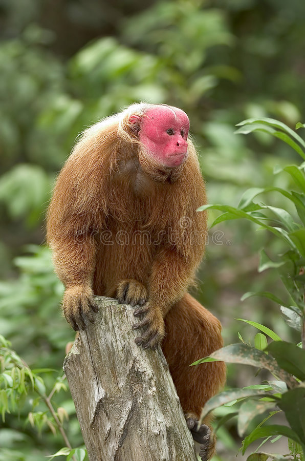 Rode aap Uakari stock foto