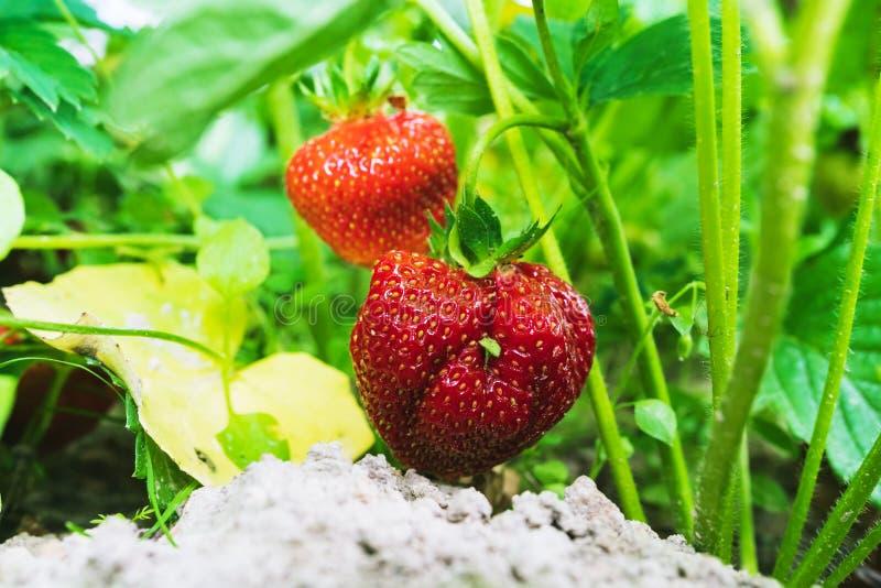 Rode aardbei in de tuin royalty-vrije stock foto