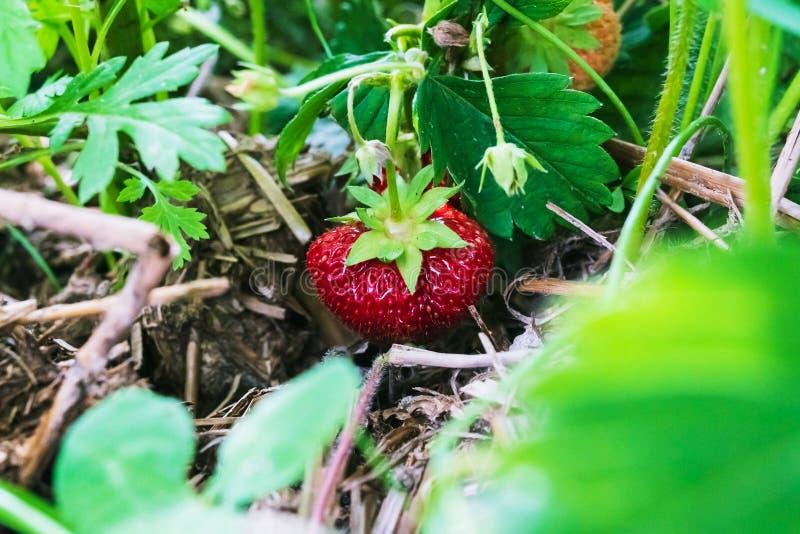 Rode aardbei in de tuin stock foto
