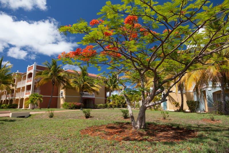 Rode Acaciabloesems in de tuin stock fotografie