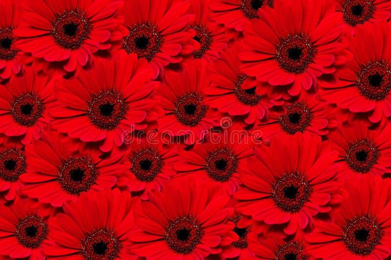Rode achtergrond Gerbera royalty-vrije stock foto