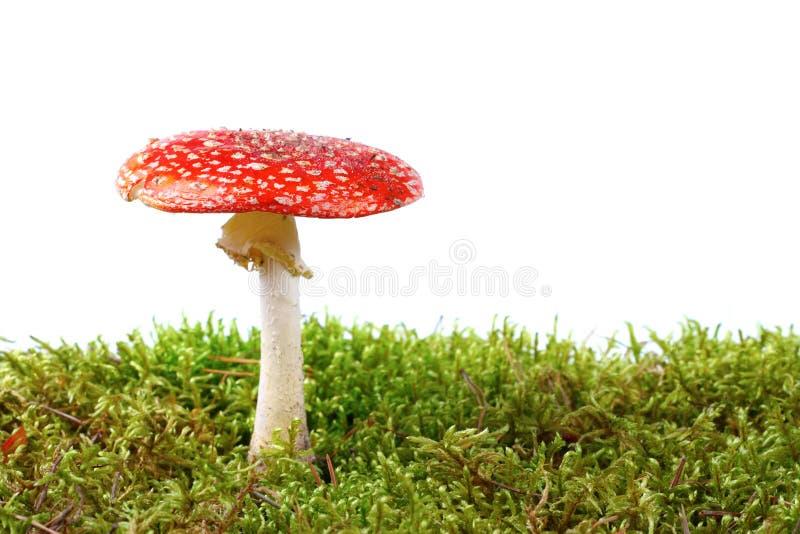 Rode amaniet in mos royalty-vrije stock afbeeldingen