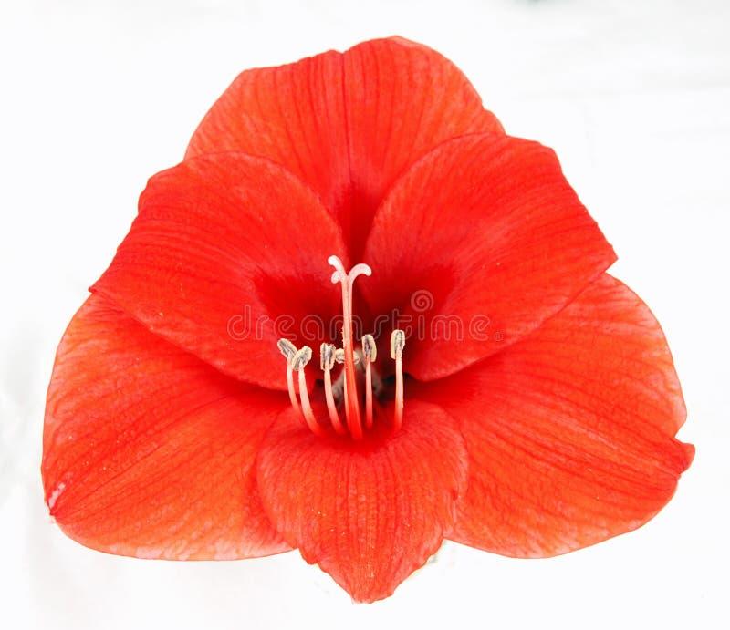 Rode amaryllis royalty-vrije stock foto