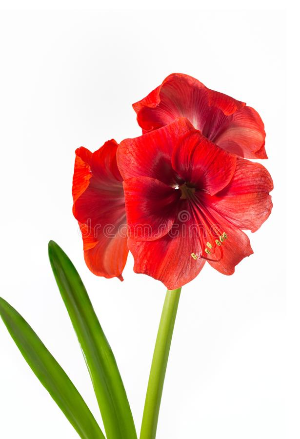 Rode Amaryllis met drie bloei stock foto's