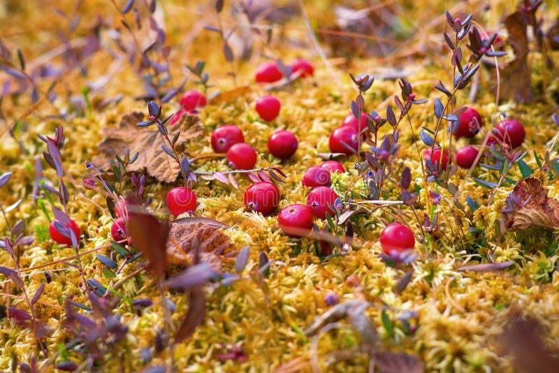 Rode Amerikaanse veenbessen stock afbeelding