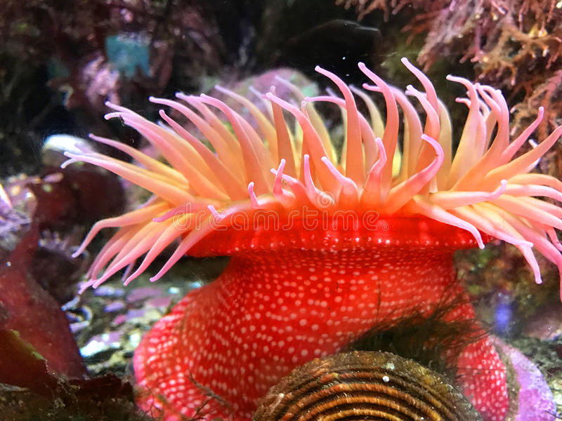 Rode anemone2 royalty-vrije stock afbeelding