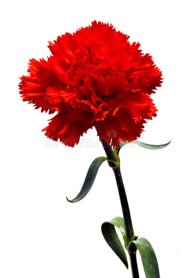 Rode anjer stock afbeelding