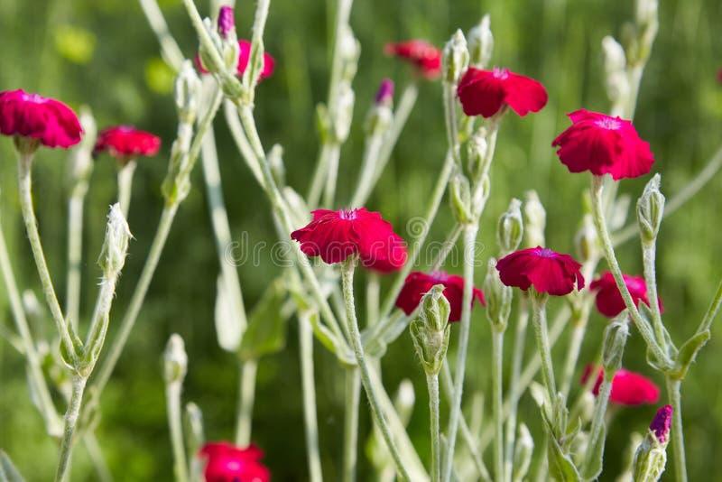 Rode anjerbloem in de tuin royalty-vrije stock afbeelding