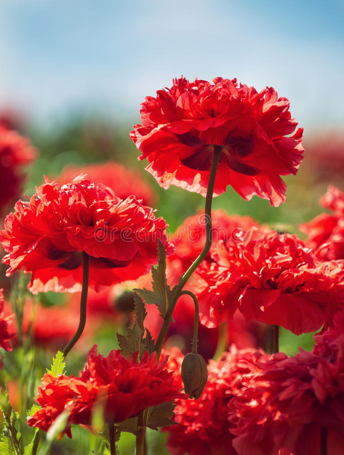 Rode anjerpapavers die in de lente bloeien stock fotografie