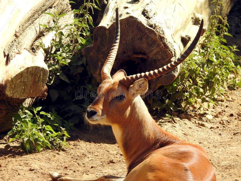 Rode antilope Lechwe royalty-vrije stock fotografie