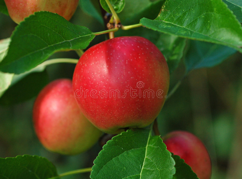 Rode appel stock afbeelding