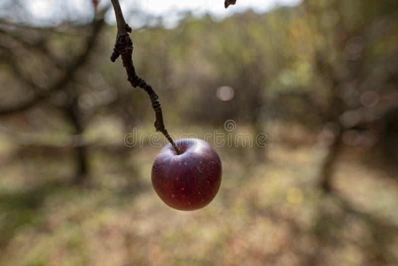 Rode appel op de boom in de herfst stock afbeeldingen