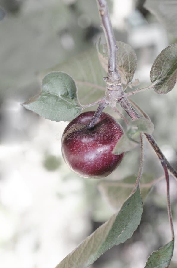 Rode appel op een tak met bladeren royalty-vrije stock foto