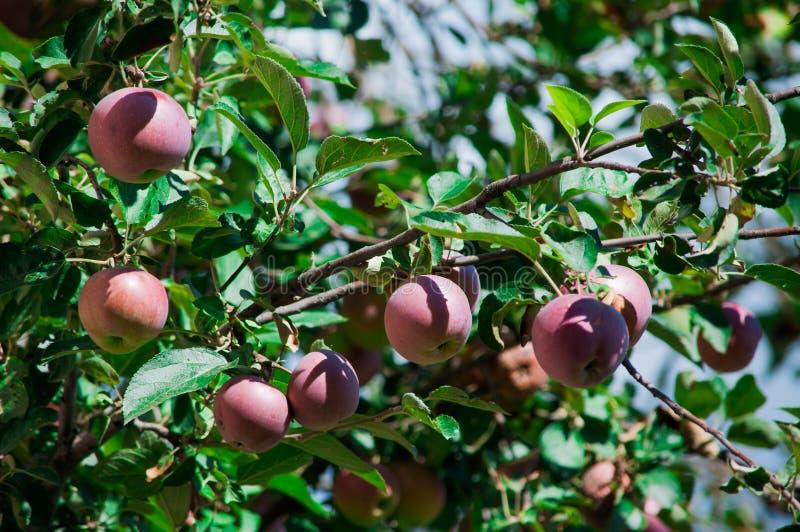 Rode appelen in de boom stock fotografie