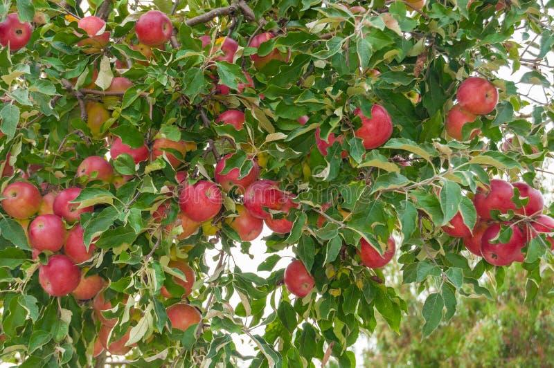 Rode appelen in de boom royalty-vrije stock afbeelding