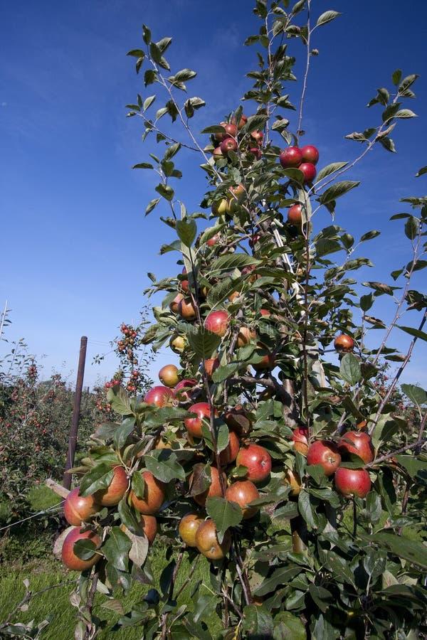 Rode appelen die in een boomgaard groeien stock afbeeldingen