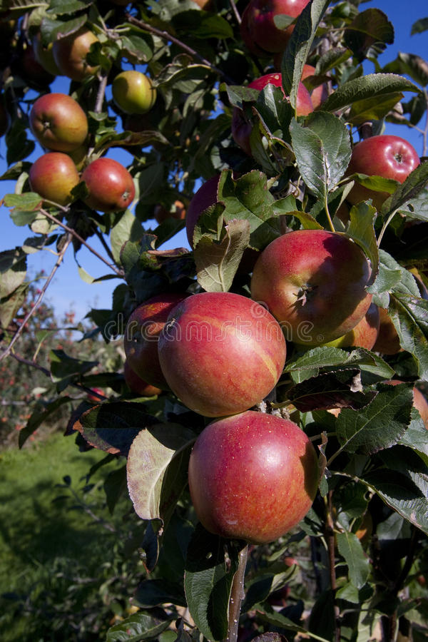 Rode appelen die in een boomgaard groeien stock afbeelding