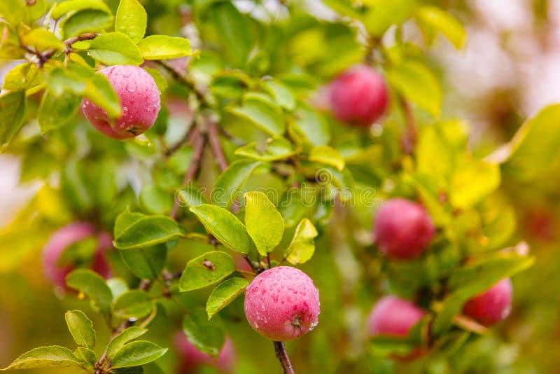 Rode appelen die op takken na zware regen in boomgaard hangen royalty-vrije stock foto's